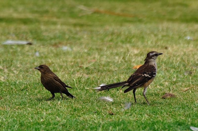 アルゼンチンの野鳥:noriの写真...